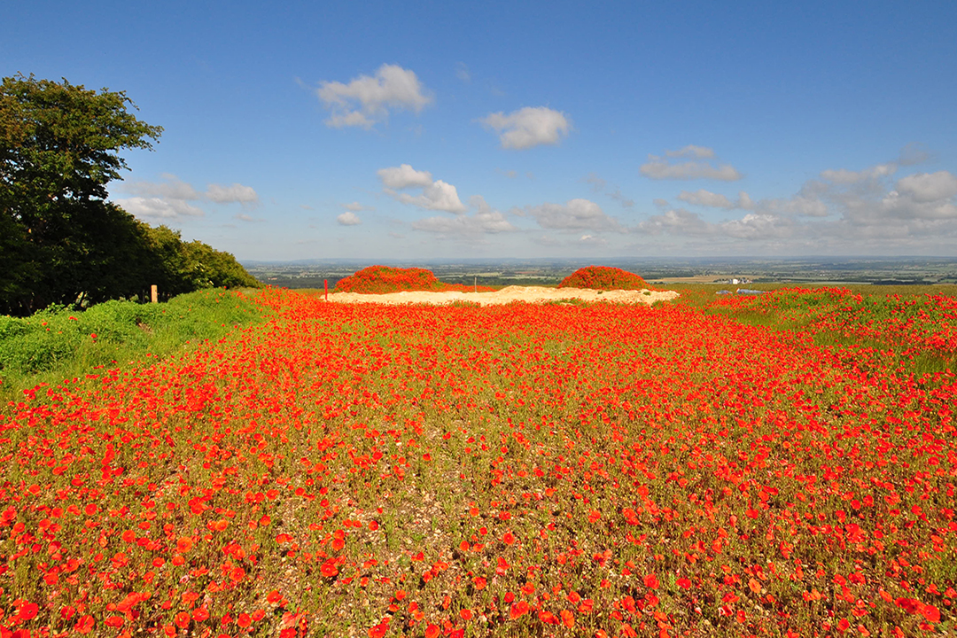 Poppies in Wolds